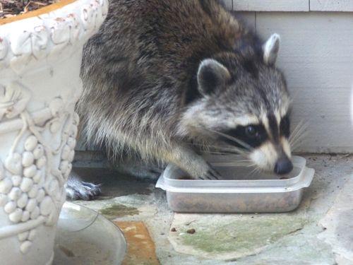Raccoon eating cat food