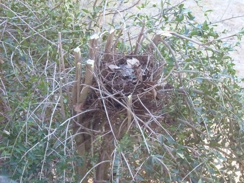 Cardinal nest in yaupon