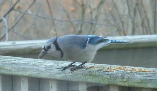 Bluejay eating mealworm