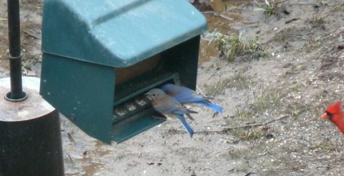 Two bluebirds and a cardinal