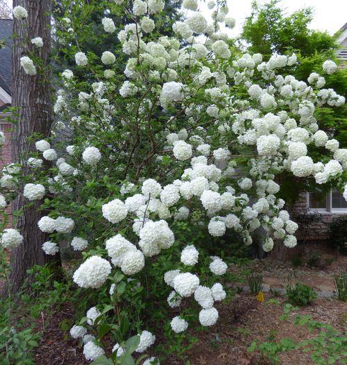 Snowball viburnum 4