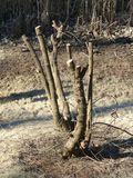 Pruned chaste tree