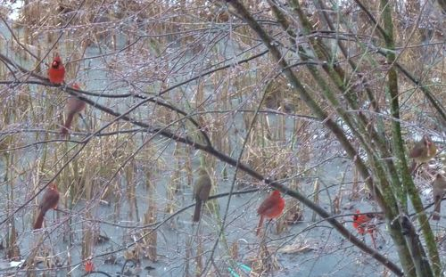 Cardinals in serviceberry tree