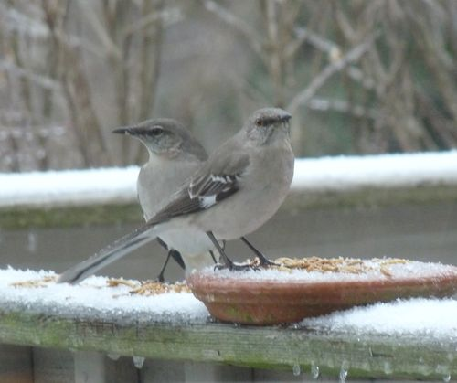 Two mockingbirds