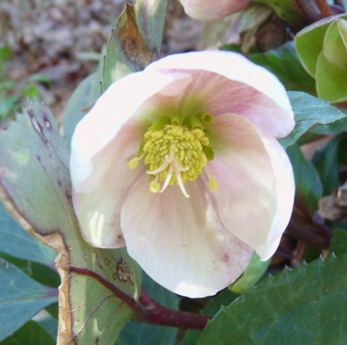 Hellebore pink and white bloom