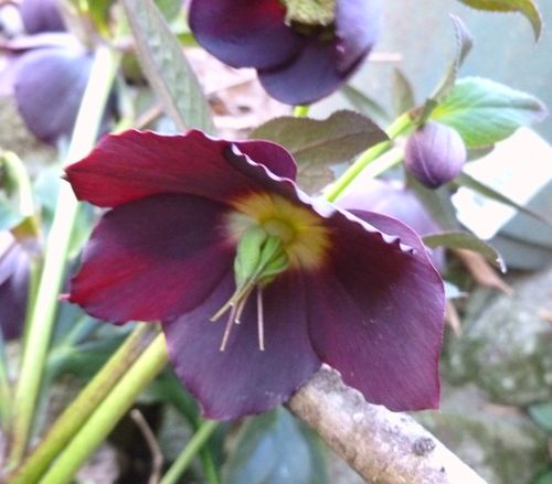 Hellebore purple
