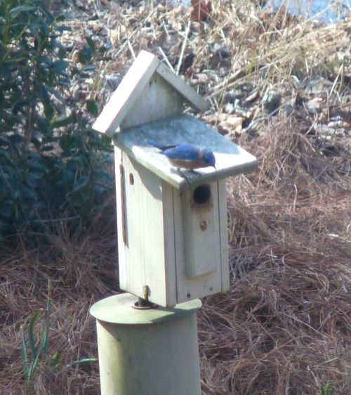 Bluebird on bird house