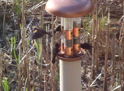 Redwing blackbirds at feeder