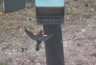 Redwinged blackbird1