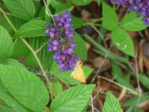 Butterfly on butterfly bush 2