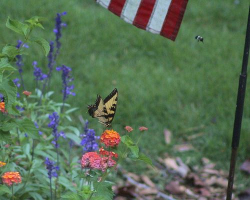 Tiger swallowtail butterfly and bee 2