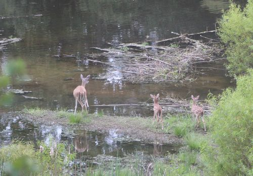 Twin fawns on lake with doe 2