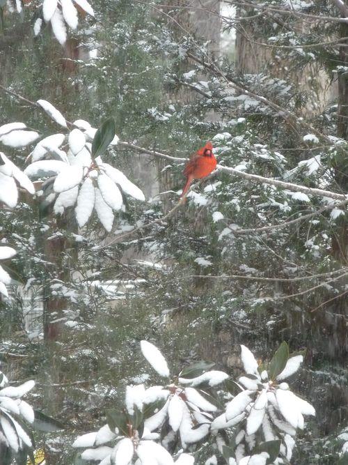 Cardinal in snow2