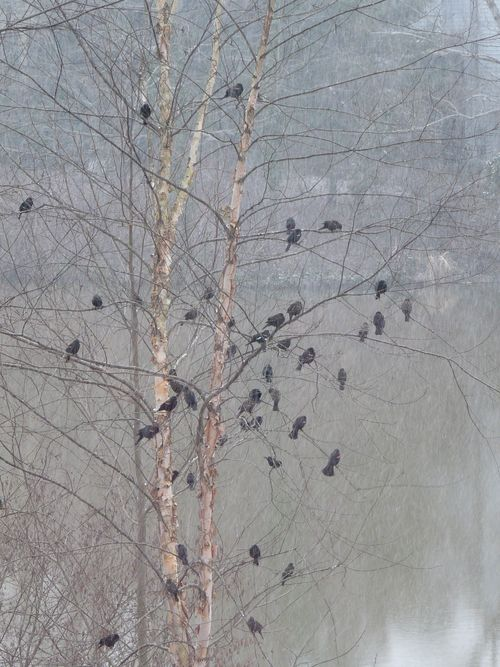 Redwing blackbirds