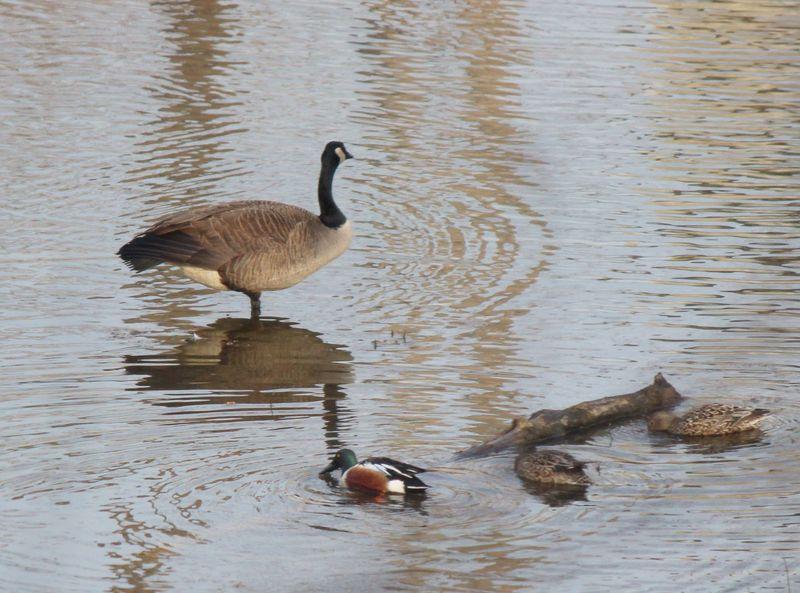 Northern shoveler and goose