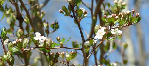 Georgia backyard nature flowering trees in spring splendor the princess diana serviceberry tree is in full bloom each delicate blossom will become a succlent berry birds love serviceberries and swarm the tree when mightylinksfo