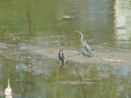 Two green herons 2