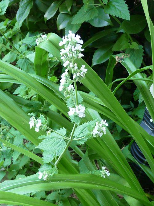Catnip blooms