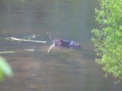 Beaver 061014