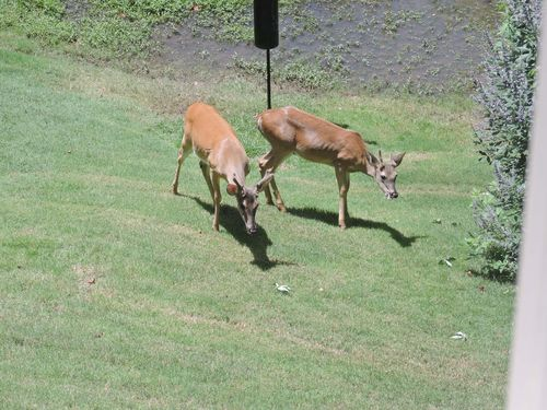 Two whitetail males