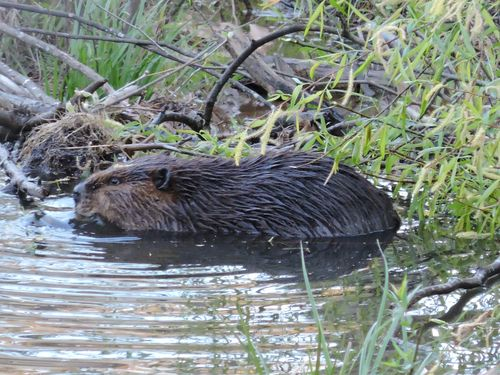 Beaver_062