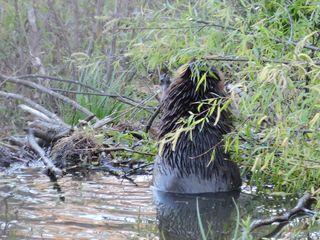 Beaver_061
