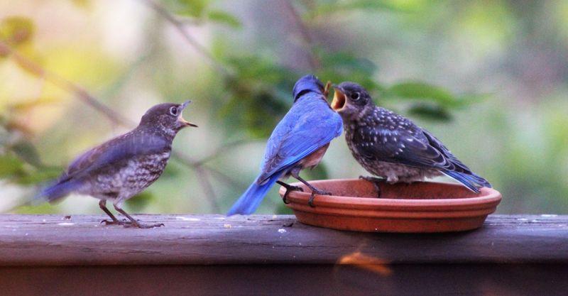 Bluebird babies (3)