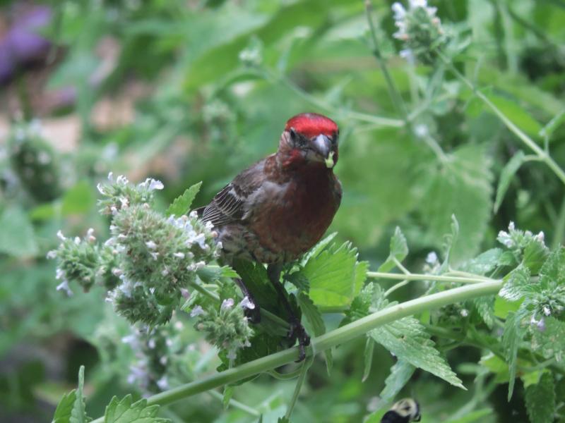 Purple finch (1)