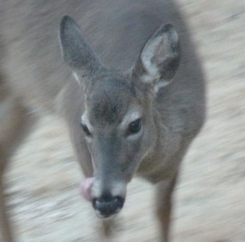Deer smacking lips