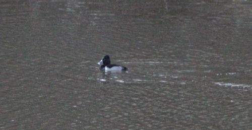 Ring necked duck 2