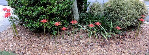 Spider lilies 2