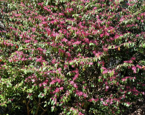 Georgia backyard nature flowering shrubs loropetalum is an evergreen shrub that grows up to 15 feet high but can be pruned after flowering to control the size there are also dwarf varieties for mightylinksfo