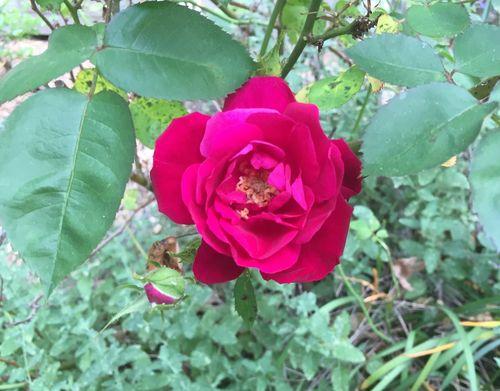 Rose 4 (2)
