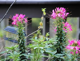Cleome pink (1)