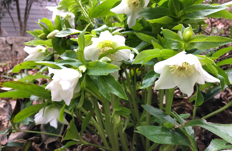 Hellebore white (2)