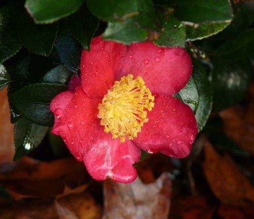 Red sasanqua