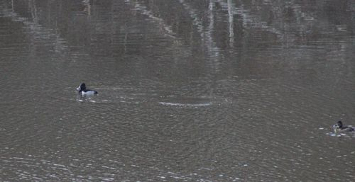 Ring necked duck 2 male and female