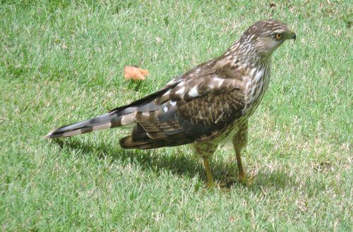 Coopers hawk 2015