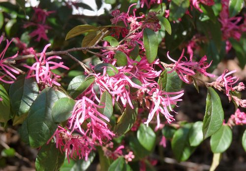 If You Are Looking For A Low Maintenance Shrub With Arresting Spring Color The Loropetalum Or Chinese Fringe Flower Is An Excellent Choice