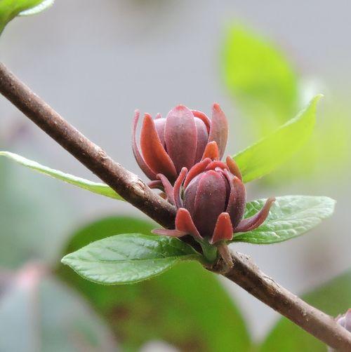 Sweet shrub_051