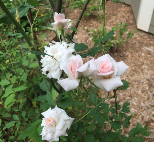 Rose 3 (2)