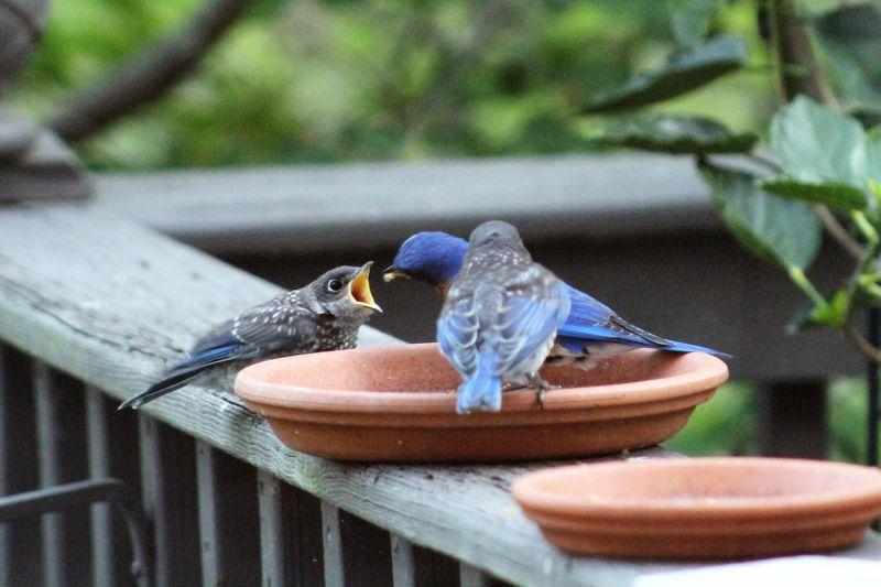 Bluebird babies (5)